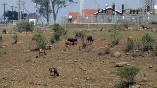 South Africa - Durban - 30 October 2019 - The drought in KwaZulu-Natal has led to dry terrain in the region with little food for animals. Picture: Bongani Mbatha/African News Agency(ANA)
