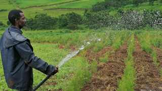 South Africa has set up a 5 billion rand ($340 million) fund to help Black farmers gain access to capital and boost their role in commercial agriculture, state-owned Industrial Development Corporation (IDC) and the government said on Thursday. Picture: Nqobile Mbonambi, ANA.