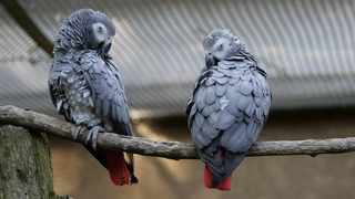 South Africa is also the world's largest exporter of captive-bred African grey parrots even though the bird is not native to the country. Picture: wasi1370/Pixabay