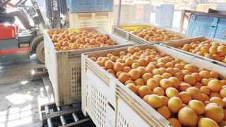 THE CITRUS industry is set to break previous export records with an estimated 158.7 million cartons for the year 2021. Photo: Simphiwe Mbokazi.