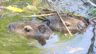 The Pretoria Zoo now has capybaras to enhance its offering as well as visitor experience. Picture: Jacques Naude African News Agency (ANA)
