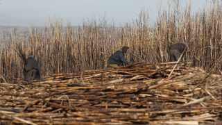 The South African Farmers Development Association (Safda) is calling for urgent action to avert 'a looming crisis of biblical proportions' from hitting small-scale farmers in the sugar industry. Picture: Bongani Mbatha/African News Agency(ANA)