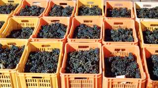 The South African Table Grape Industry (Sati) has announced that AJ Griesel has been appointed as the new chief executive of the organisation. File picture