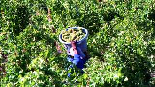The South African Table Grape Industry (Sati) has said that grape producers and exporters were confident that all market commitments would be serviced with a very good product. Picture: Denzil Maregele/African News Agency(ANA)