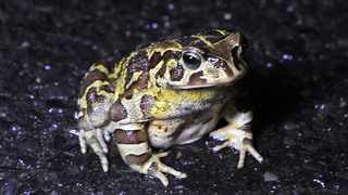 The Western leopard toad is endemic to the coastal lowlands of the south-western Cape, with a distribution range that extends from the Cape Peninsula and Cape Flats to the Agulhas Plain. File picture: Tracey Adams/African News Agency (ANA)