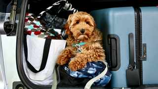 The author's Australian labradoodle Tuuli Waffles sits on the luggage in the family car during her inaugural family vacation.Picture: The Washington Post by Nevin Martell