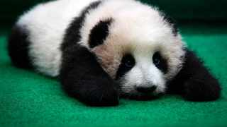 The first Malaysian-born giant panda Nuan Nuan was born on Aug. 18, 2015. Picture: AP