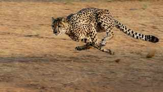 There are more cheetahs in South Africa now than there were nine years ago, thanks to non-governmental conservation efforts that seem to be paying off. Photo: Dr Zoltan from Pixabay