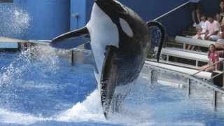 """Tillikum, a killer whale at SeaWorld amusement park, performs during the show """"Believe"""" in Orlando"""