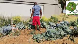 Tshwane resident Djo Bankuna with his cabbage patch. Officers in Tshwane say he is contravening bylaws.