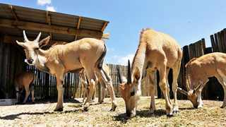 WORLDS LARGEST ANTELOPE: The City of Cape Town, in partnership with the Cape Town Environmental Education Trust, is bringing eland back to the Cape Flats by moving five eland between nature reserves to replicate their natural migration patterns, which will also play a vital role in the conservation of plant species and ecosystems. The project will begin at the Rondevlei Section of the False Bay Nature Reserve. Picture: BRUCE SUTHERLAND