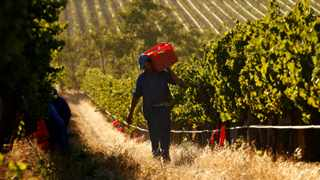 FILE PHOTO: Workers harvest grapes at the La Motte wine farm in Franschhoek near Cape Town