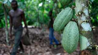 FILE - In this Tuesday, May 31, 2011 file photo, farmer Issiaka Ouedraogo walks past cocoa pods growing on a tree on a cocoa farm outside the village of Fangolo, near Duekoue Ivory Coast. On Friday, Jan. 5, 2018, The Associated Press reported that stories circulating on the internet about chocolate going extinct by 2050 are untrue. (AP Photo/Rebecca Blackwell)