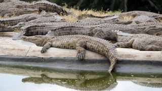 South Africa - Durban - 05 August 2019 - Crocodiles at the Nilo Estate farm in Cramond, KZN bask in the sun. At the estate turned farm, its famous for its crocodile meat.     Picture: Bongani Mbatha/African News Agency(ANA)