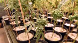 R25 000 will get you a license to grow your own weed Picture: Oupa Mokoena/African News Agency(ANA)
