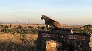 A lioness overlooks the plains, with the city of Nairobi in the background. Photo: Twitter/ @FoNNaPKenya