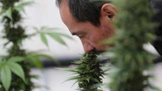 In this Wednesday Nov. 6, 2019 photo, Esteban Almeida smells his cannabis plants at his small greenhouse in Quito, Ecuador, Thursday, Nov. 7, 2019. Ecuador's legislature approved medical use of cannabis containing less than 1% of THC, the high-producing ingredient in marijuana, in September. (AP Photo/Dolores Ochoa)illnesses can have new options for pain relief. (AP Photo/Dolores Ochoa)