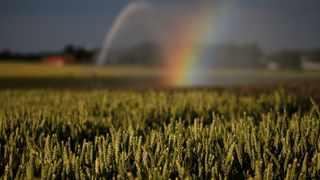 A rainbow is seen as a wheat field is irrigated.