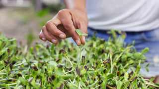 "Also known as ""vegetable confetti"", microgreens are a generic term for immature greens. Pictures: Supplied"