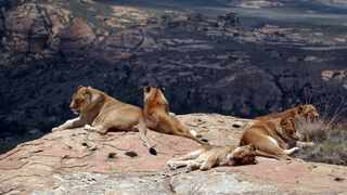 A recent study has shown that nearly half of the captive lion facilities in SA are directly linked to tourism through offering one or more unethical activities. Picture: Supplied