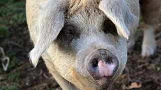 More than 4 000 sausages or rashers of bacon could be produced from Mr Pang's giant porker. Picture: Needpix
