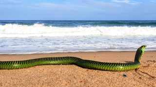 The boomslang was caught at Winklespruit beach this weekend.  Picture: Nick Evans