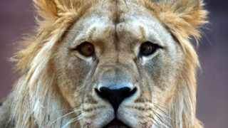 A lion at large near Dundee could end up being exterminated. Picture: Supplied