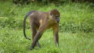 The Monkeypox virus was isolated most recently in 2012 from a dead infant mangabey (species of monkey) in Ivory Coast. Shutterstock
