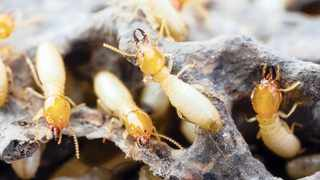NUTRITIOUS: Termites are rich in proteins, fats, vitamins and nutrients, and could be used as an affordable food source for the poor.