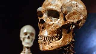 A file photo of a reconstructed Neanderthal skeleton, right, and a modern human version of a skeleton, left,  on  display at the Museum of Natural History in New York.