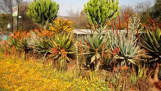 waterwise: A colourful spring border of African daisies, aloes and stately euphorbias at the entrance to Gariep Plants, a specialist succulent nursery in Pretoria. Picture: Michael Marais