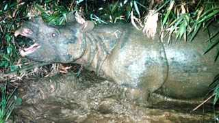 An extremely rare Javan rhino lumbering through a swamp in Vietnam's Lam Dong province triggers a laser beam, prompting an automatic camera to take its picture.