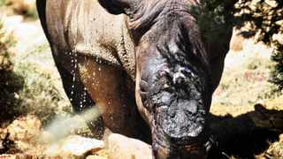 Cape Town-111211- Poaches have claimed the horns of yet another two rhino's from the Fairy Glen Game Reserve in Worcester. Reporter: Avery, Photo:Ross Jansen