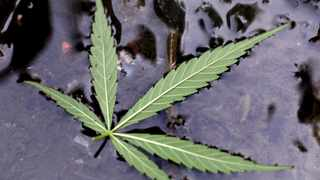 Johannesburg 201209 Dagga leaf in the hostle water. Members of the local volunteers together with the SAPS conducted a raid at the Dube Hostle, Soweto and a field behind the hostle where dagga was growing was found during the raid. No arrests was made because the suspects had fled before the poicemen arrived. picture : neil baynes