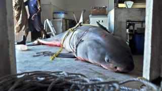 Cape Town - 120311 - A 4 metre long Great White Shark was found dead on Fish Hoek beach this morning. It is believed that the Shark died after becoming caught in a net. The Shark was towed to Simonstown and then transported to the Department of Environmental Affairs: Oceans and Coasts warehouse where it will be frozen until a Necropsy will be conducted. Photo: Ross Jansen