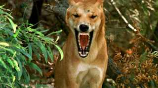 A wild Australian dingo bares its teeth on Fraser Island, about 260 kilometres (160 miles) north of Brisbane April 6, 1998. A nine-year-old boy was killed and a seven-year-old boy injured April 30, 2001 when they were attacked by dingoes while walking on a track at Waddy Point on Fraser Island. The world heritage listed Fraser Island is home to about 160 dingoes, Australia\'s native wild dog, which are considered the purest and are protected.   REUTERS/News Limited/Graeme Parkes    AUSTRALIA OUT  NO ARCHIVE   NO ONLINES    NO RESALES.  Left picture