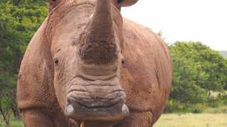 rhino was killed and its horn hacked off near Mossel Bay here in the Garden Route late yesterday. It was the only one on the game farm (the others were already sold off to keep poachers of the farm). The remaining rhino was however quite the celebrity over here because of his friendship with a pug named Madam Gigi