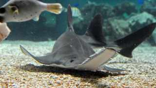 (File photo) A critically endangered small tooth sawfish roams its new home at Oceanworld in Sydney on August 18, 2011. AFP PHOTO / Torsten Blackwood