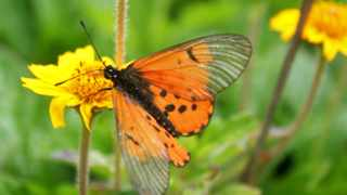 101223-Cape Town - A butterfly pauses on a flower, enjoying a summers day in the Tsitsikamma region. Picture: Candice Chaplin.