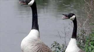 Two Canada geese search for food at the the new wetlands center in southwest London. Despite its name, the common scoter is down to just 40 breeding pairs in the UK - mostly in the Scottish Highlands.