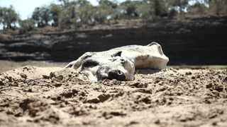 A dead cow lies on the banks of the dried-up Black Umfolozi River in Ulundi, Kwazulu-Natal, South Africa. Picture: Shiraaz Mohamed