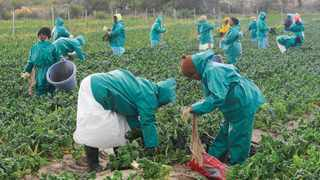 Farmworkers farming spinach. The City of Cape Town and the Philippi Economic Development Forum have signed a memorandum of agreement. Picture: Michael Walker/African News Agency (ANA) archives.