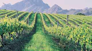 The South African Table Grape Industry (Satgi) expects a bumper crop this year after two drought-induced difficult years, as harvesting in the northern areas has started at a brisk pace in the Orange River with both white and red seedless varieties. Photo: Supplied