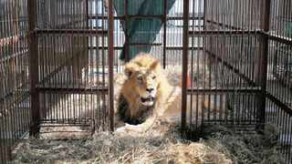 The Centre for Environmental Rights and the Endangered Wildlife Trust have come out strongly in favour of a new parliamentary report that calls for a ban on captive lion breeding in the country.     AP African News Agency (ANA)