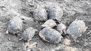 Eight tortoises were killed after a controlled fire at the Darling Wildflower Reserve. Photo: Supplied