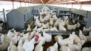 The poultry industry has cautiously welcomed the news that the government has signed a poultry sector master plan to provide a framework for job growth. Picture: SIMPHIWE MBOKAZI/African News Agency (ANA) Archives