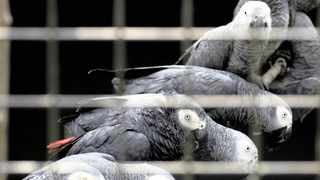 African grey parrots are rescued from an illegal trader at the Uganda-Democratic Republic of Congo border crossing.