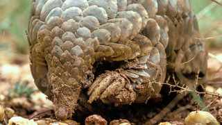 Allowing pangolins like Corona, pictured, to forage naturally is a vital part of their recovery and ultimate return to the wild.Picture: Gareth Thomas
