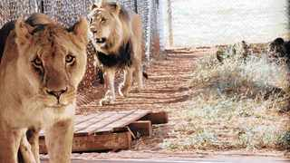 Lions at the Rietvlei Nature Reserve. Picture: Facebook