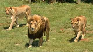A lion and two lionesses at the Rietvlei Nature Reserve.